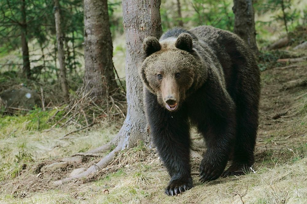 Brown Bears in the Carpathians