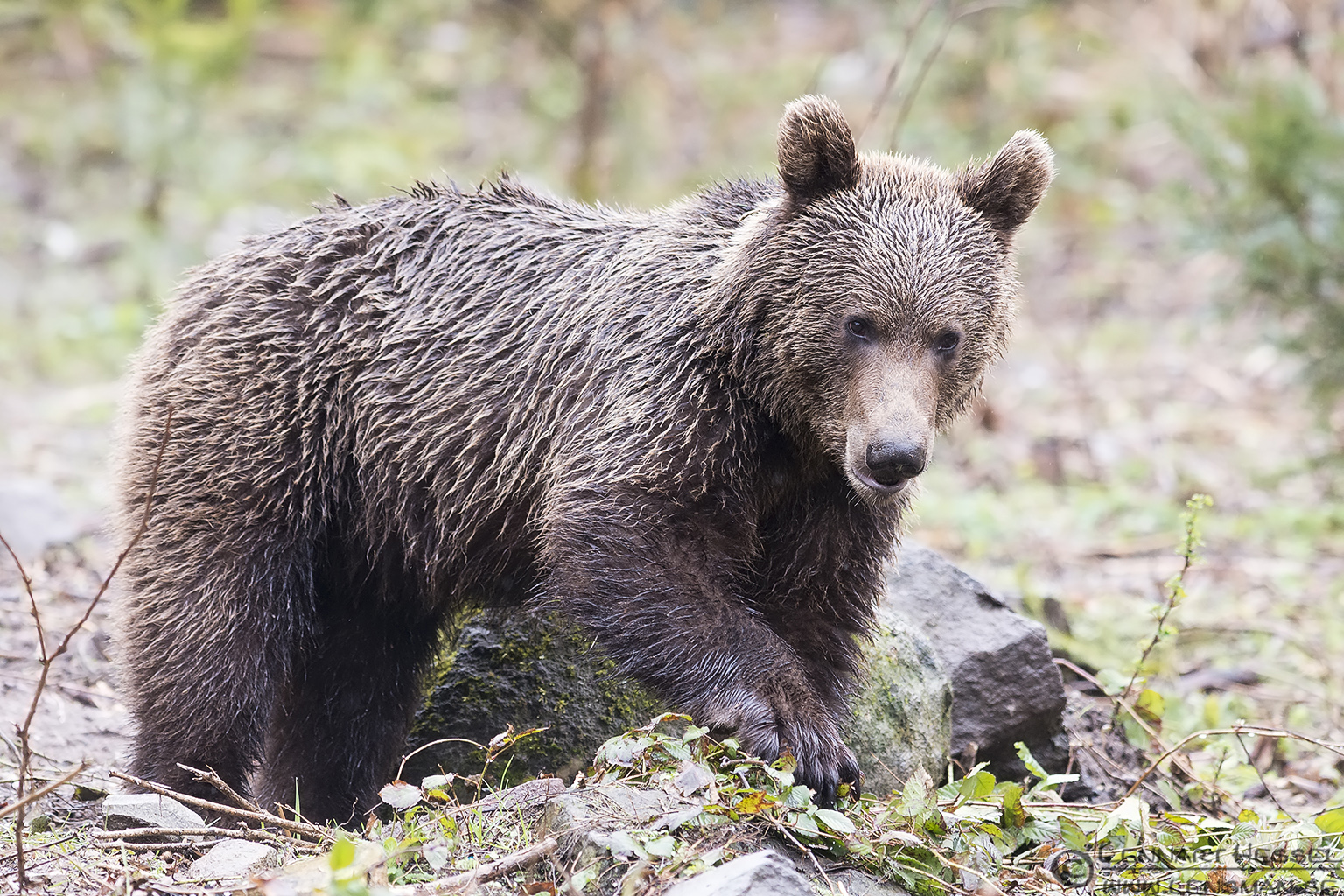 `Carpathian` Brown Bear Photography