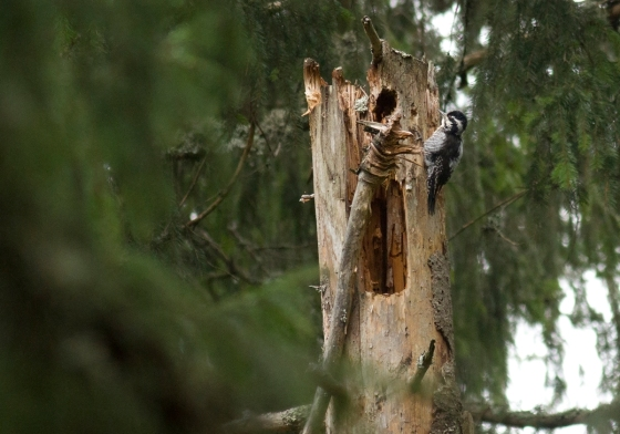 tree-toed woodpecker