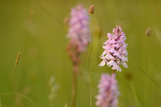 orchid-sp-zoltan-g-nagy