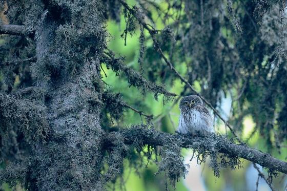 pygmy-owl-nagy-zoltan