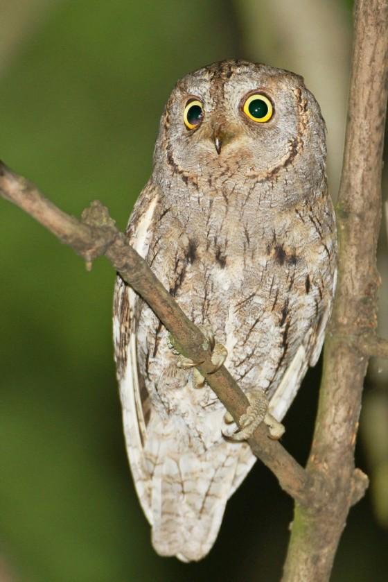 scops-owl-gabor-simay