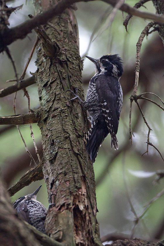 tree-toed-woodpecker-attila-szilagyi