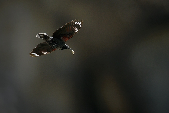wallcreeper-flight-zoltan-g-nagy