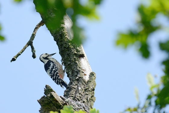 white-backed-woodpecker-zoltan-g-nagy