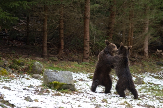 bears playing