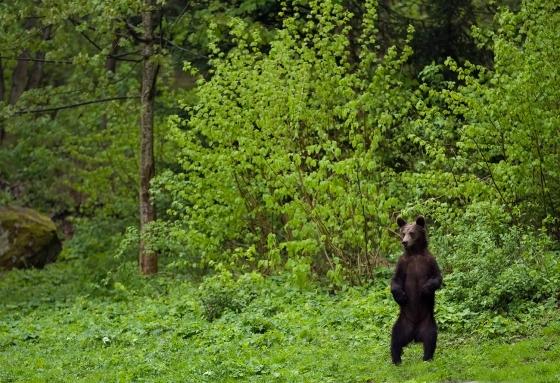 Bear looking