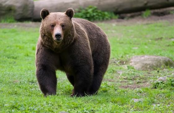 male Bear