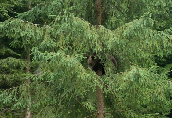 Bear cub on the tree