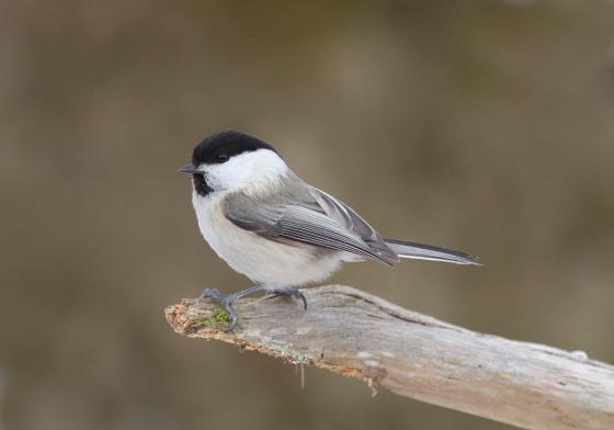 a-willow-tit