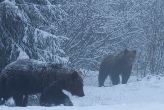 brown-bears