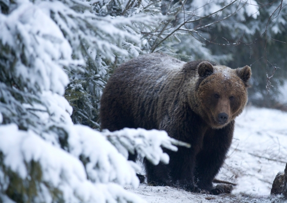 brown-winter-bear