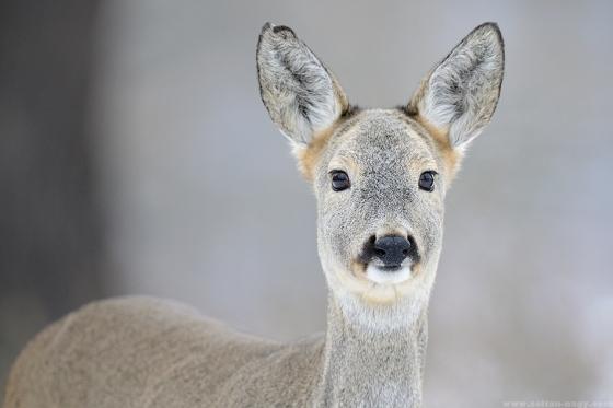 roe-deer-zoltan-nagy